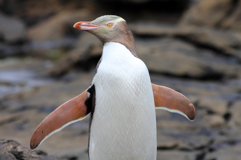 Queens Zoo penguin